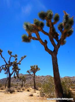 LA여행, 미국캠핑여행, 조슈아트리 국립공원 모하비 사막 캠핑