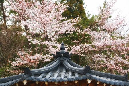 여수 오동재 한옥호텔과 벚꽃 매화의 콜라보