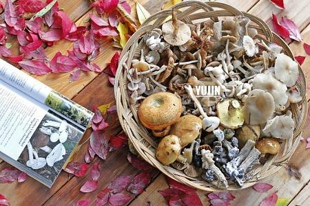 세계적으로 유명한 식용버섯, 우리집 앞마당에서 발견하다
