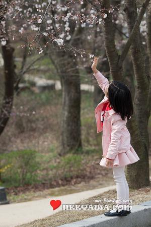 호암미술관 벚꽃 구경