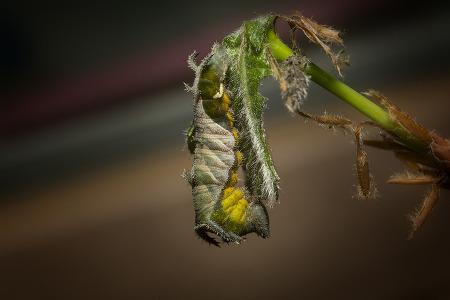 황세줄나비 (애벌레, 번데기)
