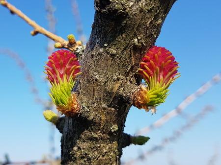 잎갈나무 - 낙엽송 암꽃을 난생 처음 보다