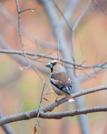콩새 Hawfinch