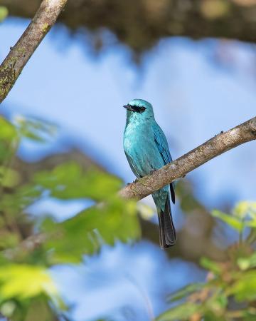 파랑딱새 Verditer Flycatcher