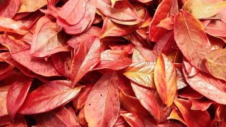 [행복찾기] 블루베리 고운 단풍잎