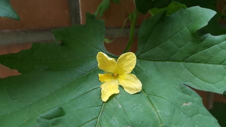 노란 여주꽃이 피었습니다