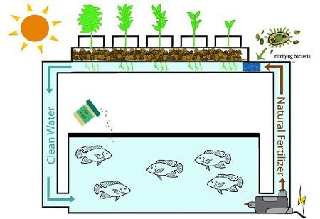 AquaPonics, 아쿠아포닉스 (물고기와 식물 함께 키우기)