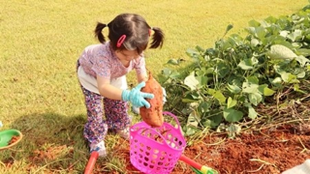 아이들 정서발달에 좋은 자연체험학습 '고구마캐기'