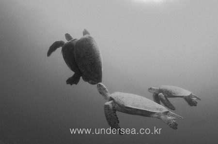 Turtle mating competition, Sipadan, Malaysia