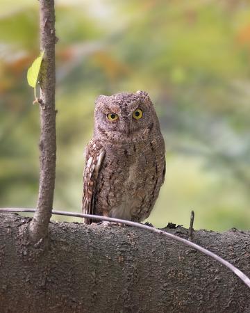 소쩍새 Eurasian Scops Owl