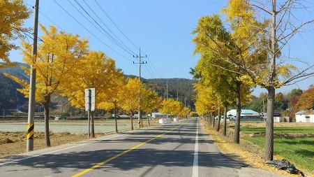 [가을풍경] 창녕에서 합천으로 가는 24번 국도에서 만난 은행나무 가로수 길
