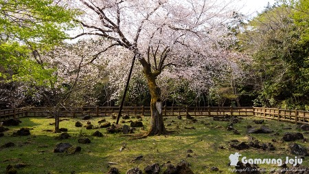 벚꽃은 일본의 국화지만 자생지는 제주도입니다