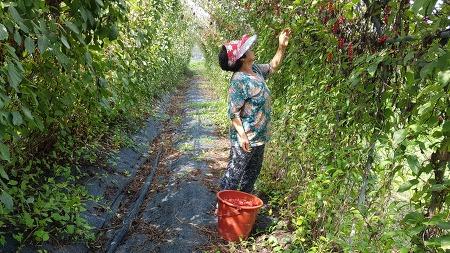 오미자수확