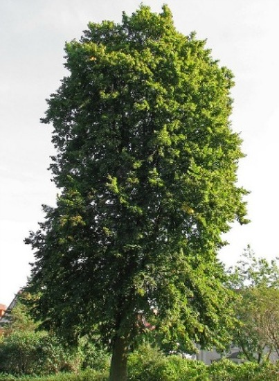 피나무의 쓰임새. 특징 알아보기