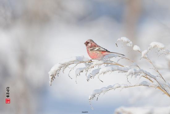 긴꼬리홍양진이 Long-tailrd Rosefinch