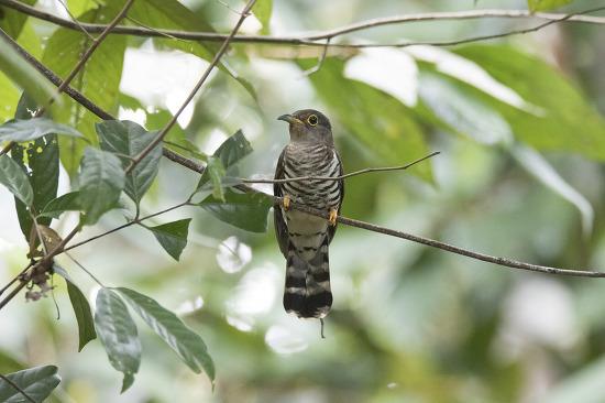 검은등뻐꾸기 Indian Cuckoo