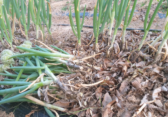 대파 재배[줄기 밑동을 절단하는 수확방법으로 장기간 대파 수확]