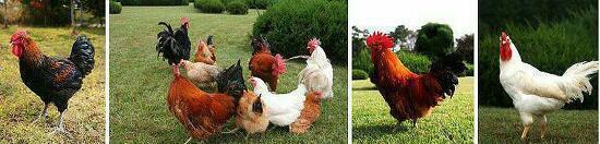 취미로 '닭' 기르기