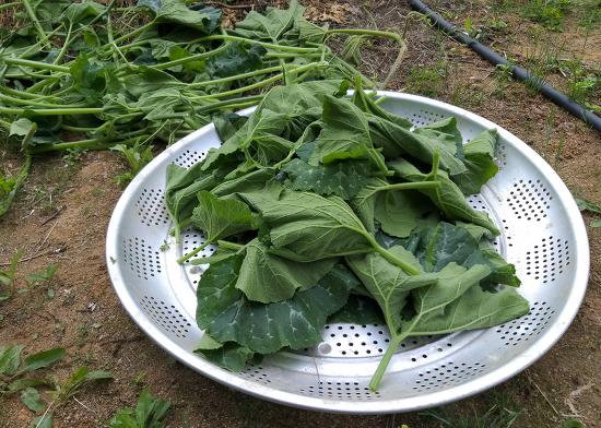 호박잎 효능,효과와 순지르기(적심)로 수확한 호박잎 다듬기,영양성분