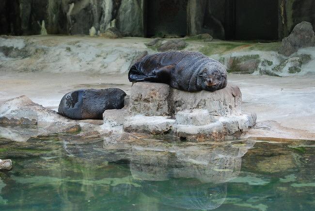 서울대공원 남아메리카 물개