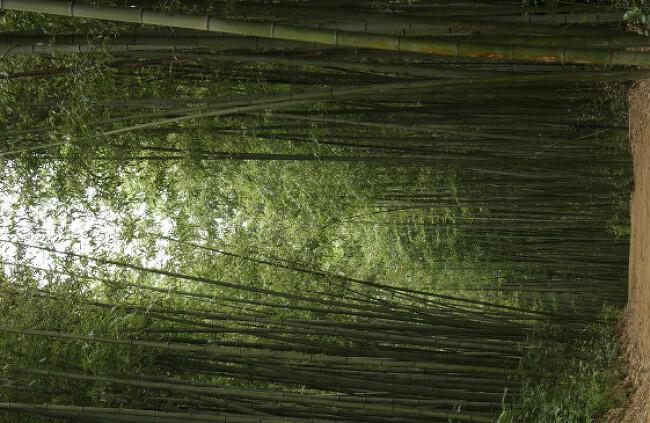 죽녹원- 대나뭇길..