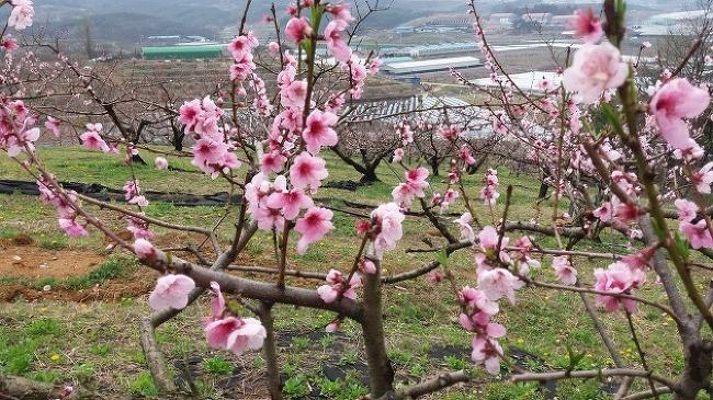2017년 복숭아 꽃 개화시작....