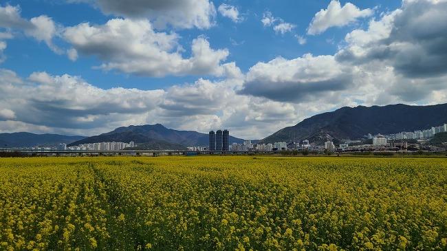 유채꽃밭과 벚꽃길 걷기