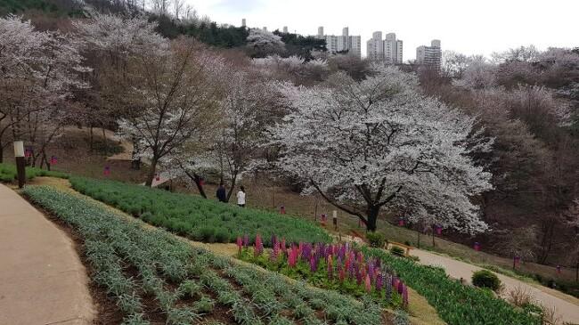 봄이 활짝 피어난 서대문 안산 자락