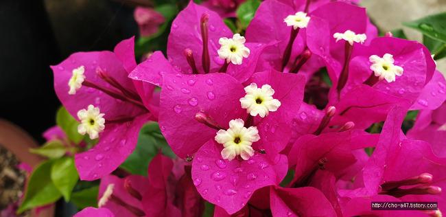 골목길에서 만난 꽃 부겐베리아