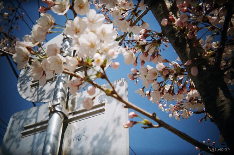 지난 봄의 벚