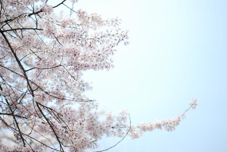 2007년 4월 한남동 단국대의 봄 1