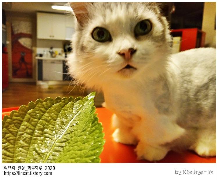 [적묘의 고양이]냥이둥절,깻잎반응,친구네 먼치킨고양이,짤뱅군,고양이는 깻잎을 좋아해?