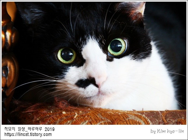 [적묘의 고양이]15살 노묘,묘르신 깜찍양,애정하는 화장대 의자,전용의자,스크레처