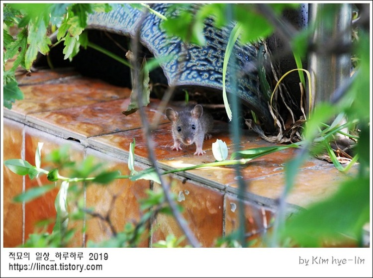 [적묘의 고양이]쥐띠해, 경자년의 쥐, 경자년의 고양이, 고양이의 쥐잡기