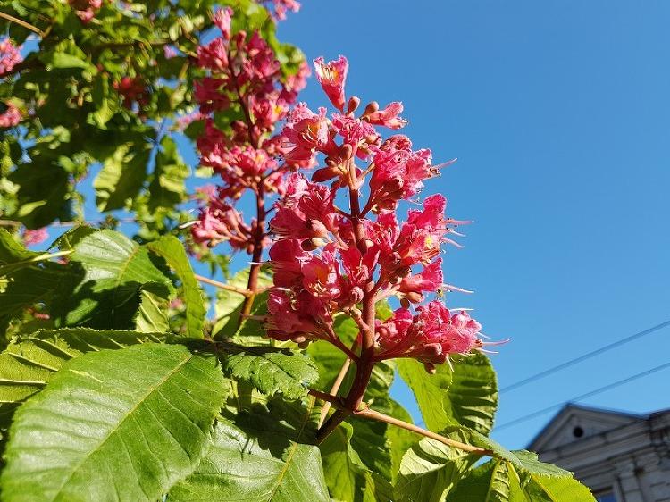 마로니에를 빼닮은 붉은 꽃을 피우는 가로수의..