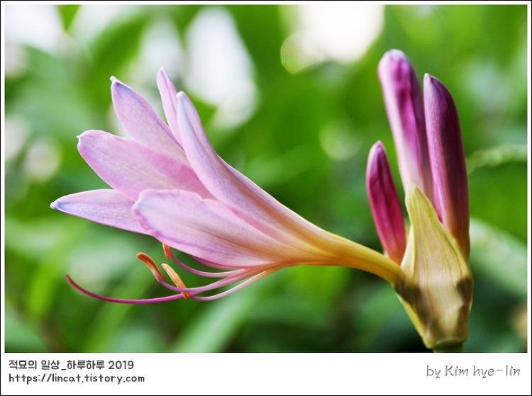 [적묘의 단상]꽃을 담다,상사화, 개난초, 자화석산(紫花石蒜), 하수선(夏水仙)