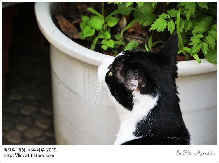 [적묘의 고양이]15살 묘르신,할묘니,깜찍양의 정원 나들이,여름 정원,노묘 산책