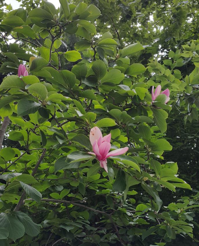 한 여름에 자주목련꽃이 피었어요~
