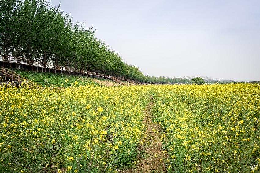 지난 4월 유채꽃만발한 곡교천과 은행나무길