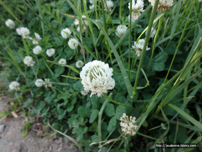 토끼풀 무성한 하천가(5월 중순)