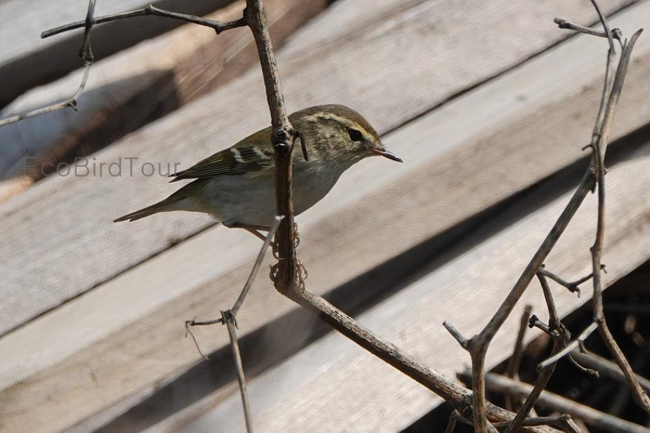 외연도, 봄섬에서 만나는 이동성 산새